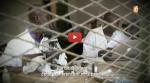 Malaria Business : l'OMS contre la tisane anti-paludisme. Entre prudence justifiée et intérêts des labos difficile de faire le tri