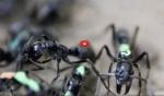 La manière dont les fourmis sauvent leurs blessés est étonnante… 🐜