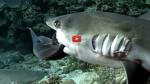 Spectaculaire ! «700 requins dans la nuit», des plongeurs au milieu du plus grand rassemblement de dents de la mer du monde
