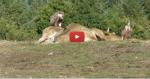Impressionnant ! Des dizaines de vautours attaquent et dévorent deux veaux et une vache dans le Tarn